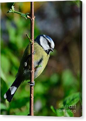 Blue Tit Canvas Print by Alan Clifford