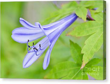 Blue Trumpet Canvas Print by David Lade