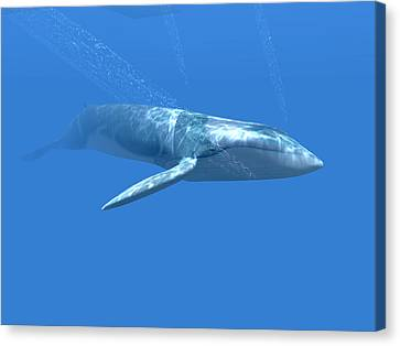 Blue Whale Canvas Print by Christian Darkin