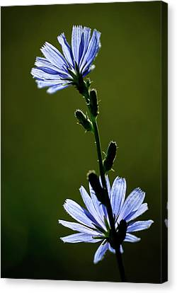 Blue Wildflower Canvas Print by  Onyonet  Photo Studios