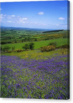 Bluebell Flowers On A Landscape, County Canvas Print
