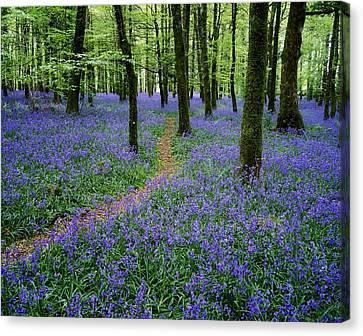 Bluebell Wood, Near Boyle, Co Canvas Print