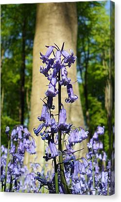 Bluebells Canvas Print by Michael Standen Smith