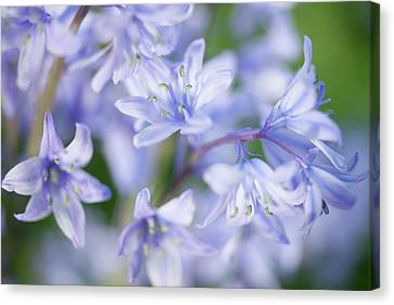 Bluebells Canvas Print by Nick Dolding