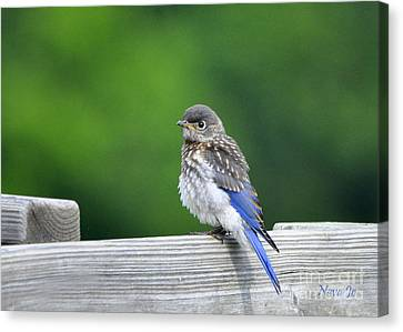 Canvas Print featuring the photograph Bluebird Baby by Nava Thompson