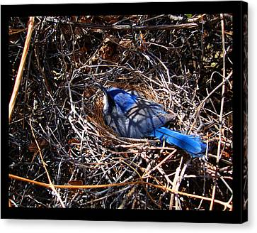 Canvas Print featuring the photograph Bluebird In Her Nest by Susanne Still