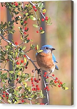 Bluebird In Yaupon Holly Tree Canvas Print by Jeanne Kay Juhos