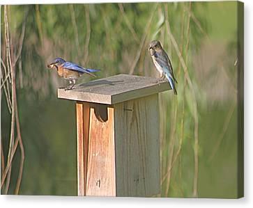 Bluebird Snack Time Canvas Print by Jeanne Kay Juhos