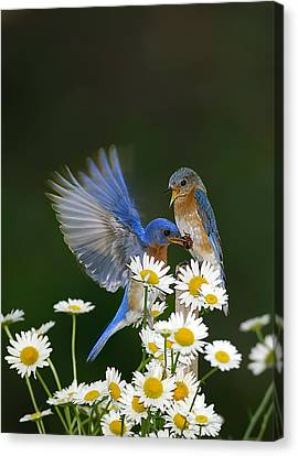 Canvas Print featuring the photograph Bluebirds Picnicking In The Daisies by Randall Branham