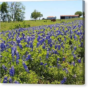 Bluebonnet Farmhouse Canvas Print by Lynnette Johns