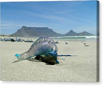 Canvas Print featuring the photograph Bluebottle by Werner Lehmann