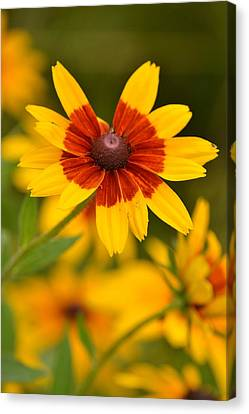Canvas Print featuring the photograph Blush-eyed Susan by JD Grimes