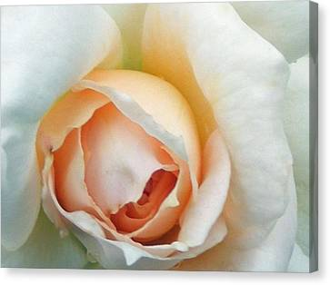Blushing Rose Canvas Print