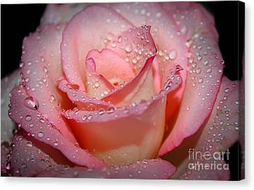 Blushing Rose Canvas Print by Tracy  Hall