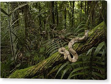 Boa Constrictor Boa Constrictor Coiled Canvas Print by Pete Oxford