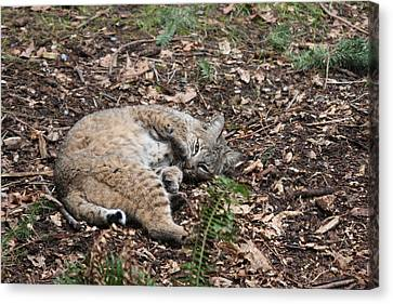 Canvas Print featuring the photograph Bobcat - 0016 by S and S Photo