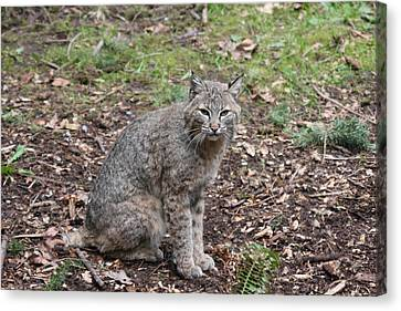 Canvas Print featuring the photograph Bobcat - 0017 by S and S Photo