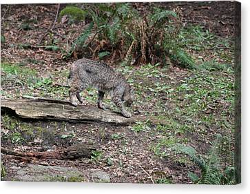 Canvas Print featuring the photograph Bobcat - 0018 by S and S Photo