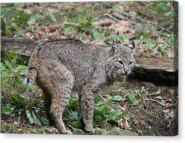 Canvas Print featuring the photograph Bobcat - 0019 by S and S Photo