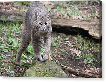 Canvas Print featuring the photograph Bobcat - 0020 by S and S Photo
