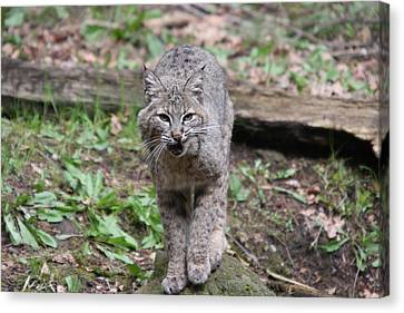 Canvas Print featuring the photograph Bobcat - 0021 by S and S Photo
