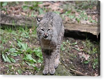 Canvas Print featuring the photograph Bobcat - 0022 by S and S Photo