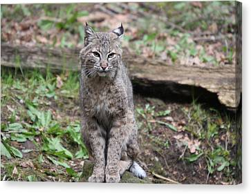 Canvas Print featuring the photograph Bobcat - 0024 by S and S Photo