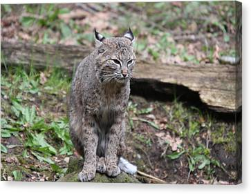 Canvas Print featuring the photograph Bobcat - 0025 by S and S Photo