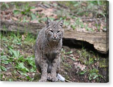 Canvas Print featuring the photograph Bobcat - 0026 by S and S Photo