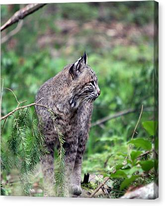 Canvas Print featuring the photograph Bobcat - 0027 by S and S Photo