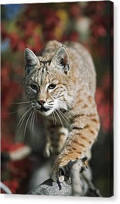 Bobcat Felis Rufus Canvas Print by David Ponton