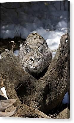 Bobcat  Canvas Print by Jeff Grabert
