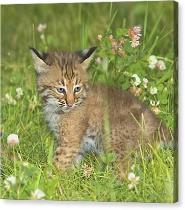 Bobcat Kittens Canvas Print - Bobcat Kitten by John Pitcher