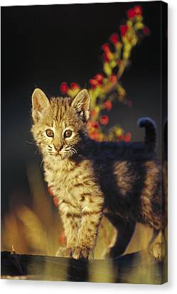 Bobcat Kitten Standing On Log North Canvas Print by Tim Fitzharris