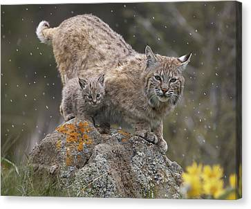 Baby Bobcat Canvas Print - Bobcat Mother And Kitten In Snowfall by Tim Fitzharris