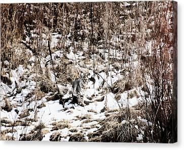 Canvas Print featuring the photograph Bobcat Winter by Britt Runyon