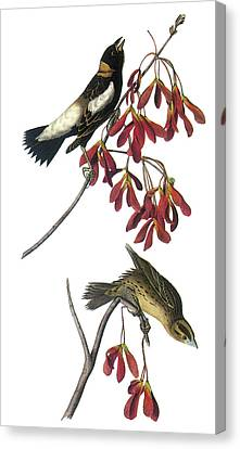 Bobolink Canvas Print by John James Audubon
