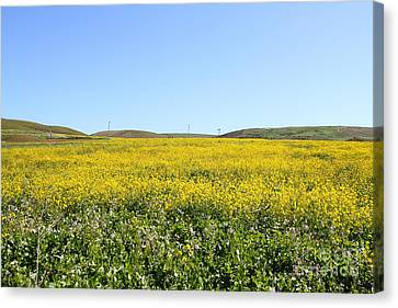 Bodega Bay . Yellow Field . 7d12403 Canvas Print by Wingsdomain Art and Photography