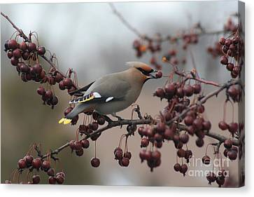 Bohemian Waxwing Canvas Print by Chris Hill
