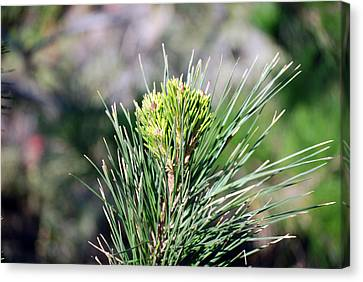 Bokeh Of Evergreen Canvas Print
