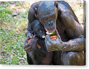 Bonobo 3 Canvas Print by Kenneth Albin
