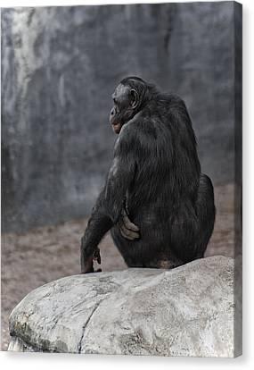 Bonobo Canvas Print by Wade Aiken