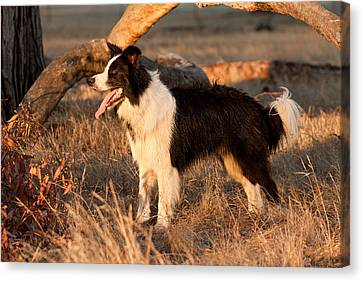 Border Collie At Sunset Canvas Print by Michelle Wrighton