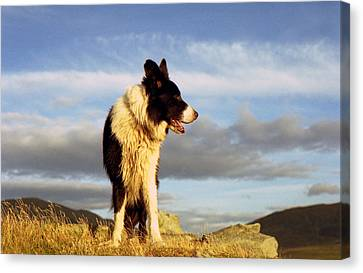 Border Collie Heaven Canvas Print by Michael Haslam
