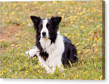 Border Collie In Field Of Yellow Flowers Canvas Print