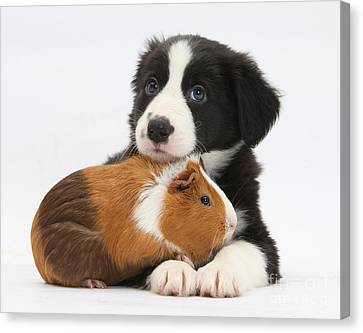 Cavy Canvas Print - Border Collie Pup And Tricolor Guinea by Mark Taylor