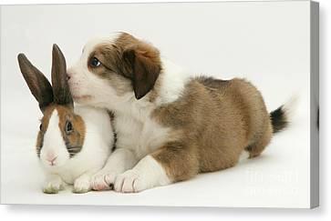 Border Collie Pup With Dutch Rabbit Canvas Print by Jane Burton