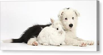 Border Collie Puppy With Baby Rabbit Canvas Print by Mark Taylor