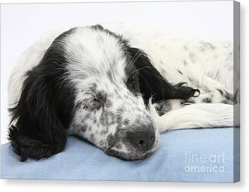 Border Collie X Cocker Sleeping Puppy Canvas Print by Mark Taylor