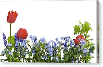 Canvas Print featuring the photograph Border From Myosotis And Tulips by Aleksandr Volkov